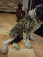 Dificultad al caminar o levantarse en perros, Perro de agua español