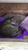 Gati, mi gato común europeo hembra, tiene aborto y temblores