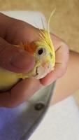 Respira con dificultad en aves, Cacatúa ninfa