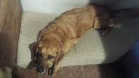Dificultad para mover las patas traseras en perros, Bardino (Perro majorero)