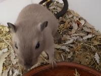 Cojera en roedores, Jerbo