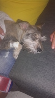 Inflamación cuello en perros, Schnauzer estándar
