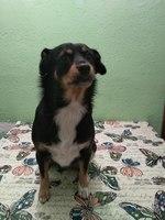 Aumento de peso en perros, Pinscher alemán
