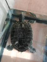 Inclina la cabeza en reptiles, Tortuga