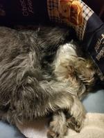 Respira con dificultad en perros, Schnauzer miniatura