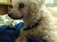 Ricky, mi perro caniche macho, tiene vómito, vómito amarillo y deshidratación