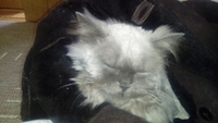 Dolor al contacto en gatos, Persa tradicional
