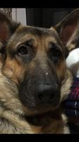 Úlcera en la nariz en perros, Pastor alemán
