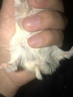 Bulto en la piel en roedores, Hámster
