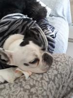 Babeo excesivo o espuma blanca por la boca en perros, Bulldog francés
