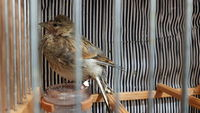 Pérdida de piel en aves, Jilguero europeo