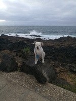 Respiración ruidosa en perros, Bóxer
