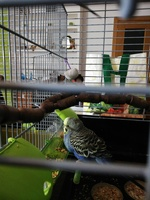 Mal apetito en aves, Periquito opalino
