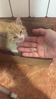 Respira con dificultad en gatos, Angora turco