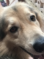 Ojos rojos en perros, Pastor belga