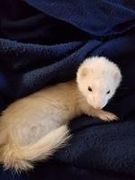 Deshidratación en roedores, Hurón