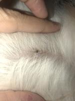 Niko, mi perro shih tzu macho, tiene edema en la piel