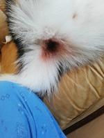 Sarro en los dientes en perros, Husky siberiano