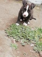 Picor de ano en perros, Pit bull