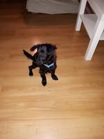 Mal aliento en perros, Yorkshire terrier