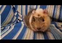 Pérdida de piel en roedores, Cobaya