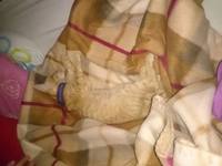 Dificultad para mover las patas traseras en gatos, Bengala