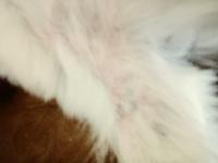 Thalles, mi perro shih tzu macho, tiene pérdida de pelo, piel seca y erupciones en la piel