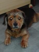 Dolor al defecar en perros, Yorkshire terrier