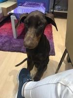 Curvamiento espalda en perros, Dobermann