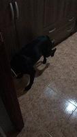 Dificultad para mover las patas traseras en perros, Pit bull