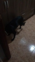 Cojera en perros, Pit bull