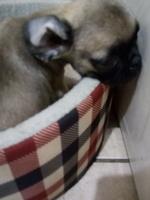 Abdomen inflamado en perros, Pug