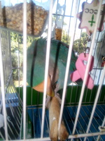 Picor y rascarse en aves, Agapornis lilianae