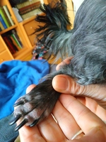 Nina, mi perro caniche hembra, tiene picor y rascarse, enrojecimiento orejas y se chupa las patas