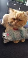 Fiebre en gatos, Desconocida