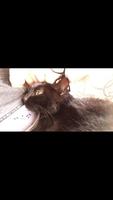 Babeo excesivo o espuma blanca por la boca en gatos, Azul ruso