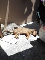 Garrapatas en perros, Schnauzer estándar