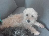 Dolor de oreja en perros, Caniche