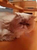 Arcadas en gatos, Persa tradicional