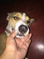 Secreción ocular en perros, Pointer