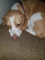 Deshidratación en perros, Beagle