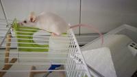 Estornudos en roedores, Ratón común