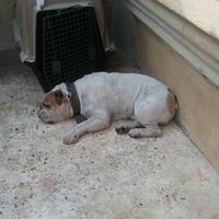 Arcadas en perros, Bulldog inglés