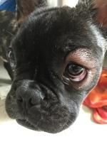 Ojos inflamados en perros, Bulldog francés