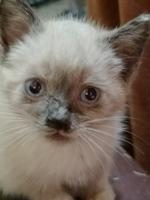 Estornudos en gatos, Siamés