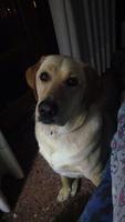 Estornudos en perros, Labrador