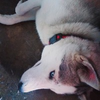Jadeo en perros, Husky siberiano