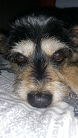 Abdomen inflamado en perros, Pekinés