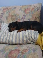 Zero, mi perro ratonero valenciano macho, tiene dolor al contacto, dificultad al caminar o levantarse y apatía