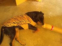 Secreción en pene en perros, Rottweiler